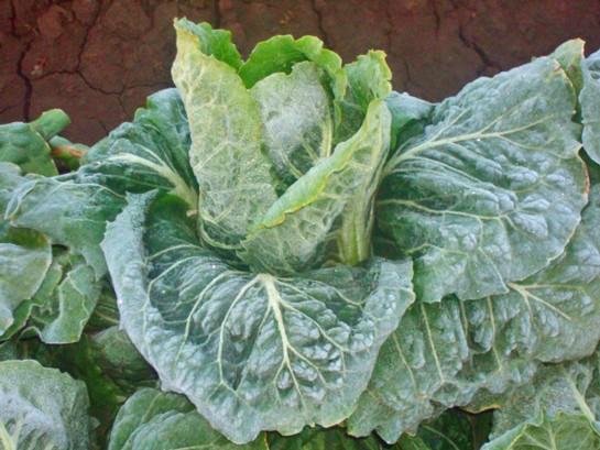 A frozen head of romaine lettuce (Yuma, Arizona, January 2013). - IMAGE COURTESY OF DIERBERGS
