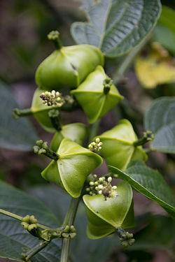 The fruit and flower of Plukenetia huayllabambana, the wonder plant known as sacha inchi. - COURTESY MISSOURI BOTANICAL GARDEN