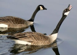 Who wants neck meat? Canada geese to be fed to Pennsylvania's poor. - WIKIMEDIA COMMONS