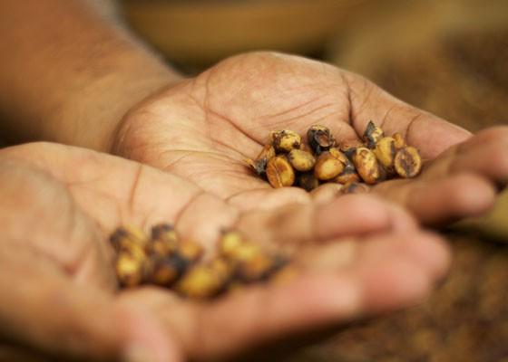 Kopi luwak beans. | McKay Savage