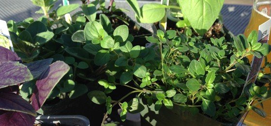 Herb Seedlings at the Schlafly Farmers Market | Patrick J. Hurley