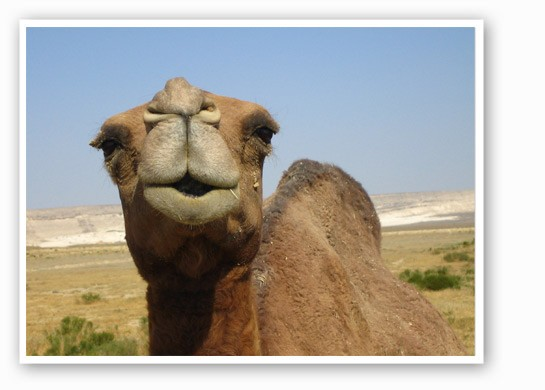 Camels are kind of assholes. | Image via