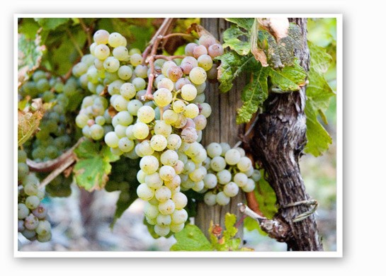 Riesling grapes awaiting harvest in Wehlen, Germany. | Paul Asman & Jill Lenoble