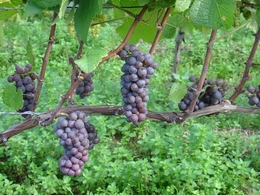 This here is your pinot gris grape (a.k.a. pinot grigio), near as we can tell. - IMAGE CREDIT