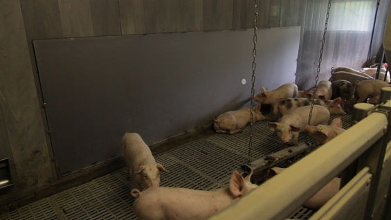 It's about to be playtime for these piggies! - COURTESY PLAYING WITH PIGS