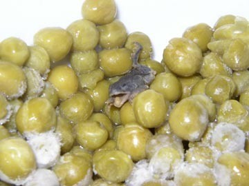 This is indeed a frog, and it was indeed found in a can of peas - ABOUT.COM