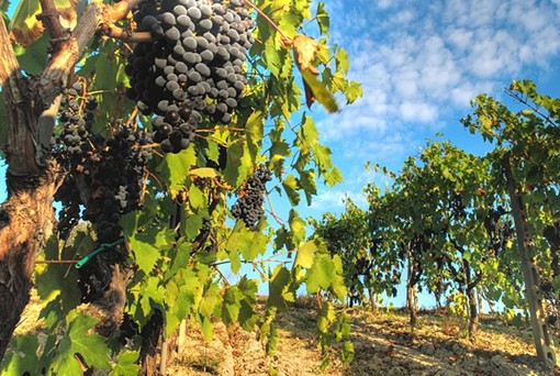 Sangiovese grapes - FRANCESCO SGROI, WIKIMEDIA COMMONS