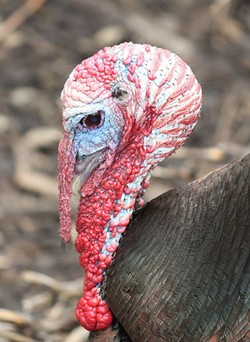 Turkey for two is too much turkey. - IMAGE VIA