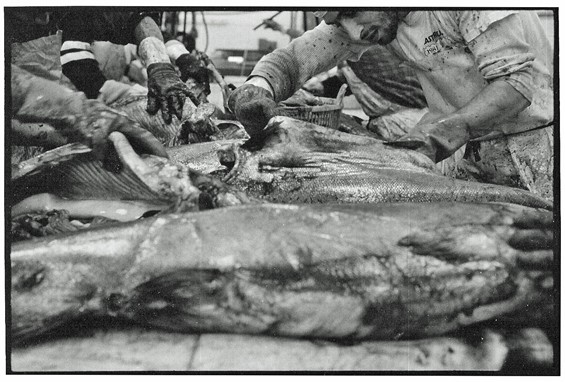 Rare archival photo of Gut Check performing on-site gut check on wild-caught Alaskan salmon.