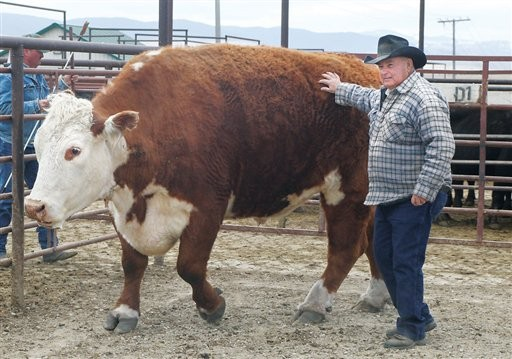 3,000 pounds of beef, a.k.a. Cletus. - THE MISSOULIAN