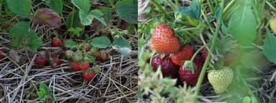 strawberries_thumb.jpg