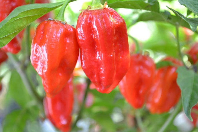 Ghost peppers. Don't mess with them, man. - PHOTO COURTESY OF FLICKR/JOHN VONDERLIN