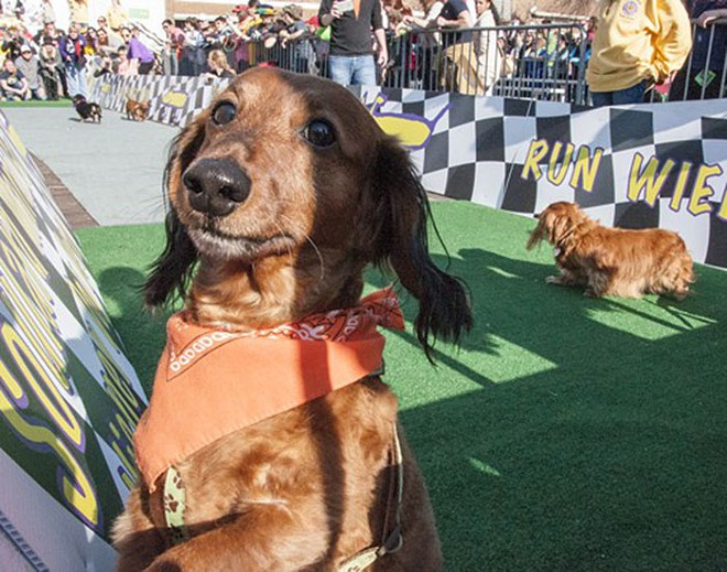 The weiner dogs race Sunday after the Beggin' Strips Pet Parade through Soulard. - PHOTO  BY MICAH USHER