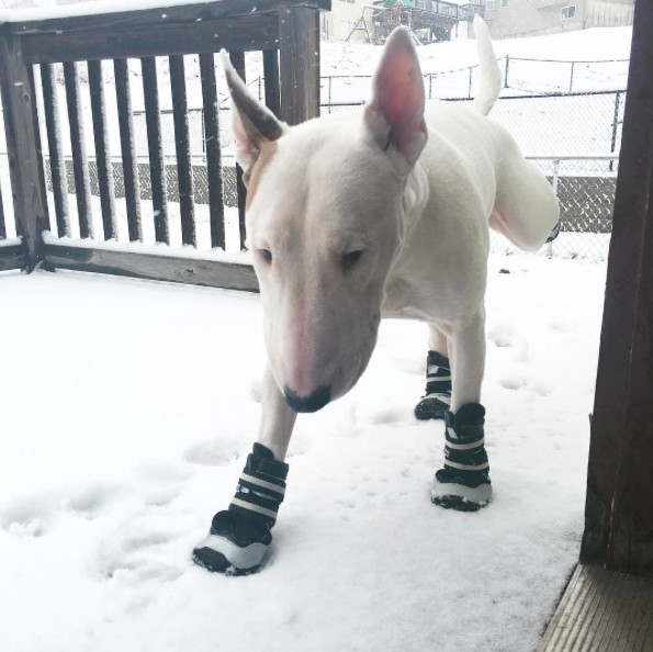 This cutie is sporting snow boots today. If only we looked this adorable in them.... - PHOTO COURTESY OF INSTAGRAM / ALFTHEBULLTERRIER