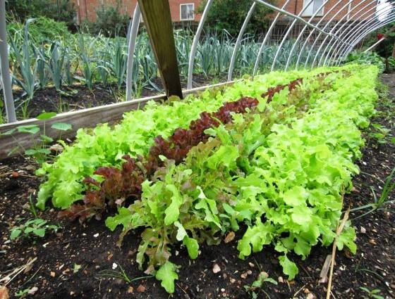 LETTUCE AT SCHLAFLY GARDENWORKS | PHOTO COURTESY OF SCHLAFLY