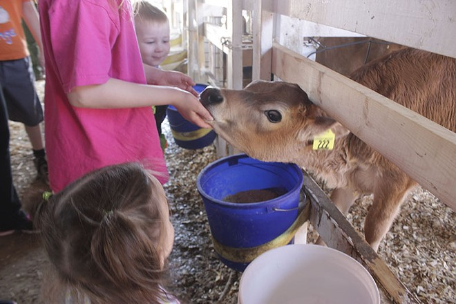 A visitor feeds a calf at Marcoot Jersey Creamery. - PHOTO BY ALLISON BABKA
