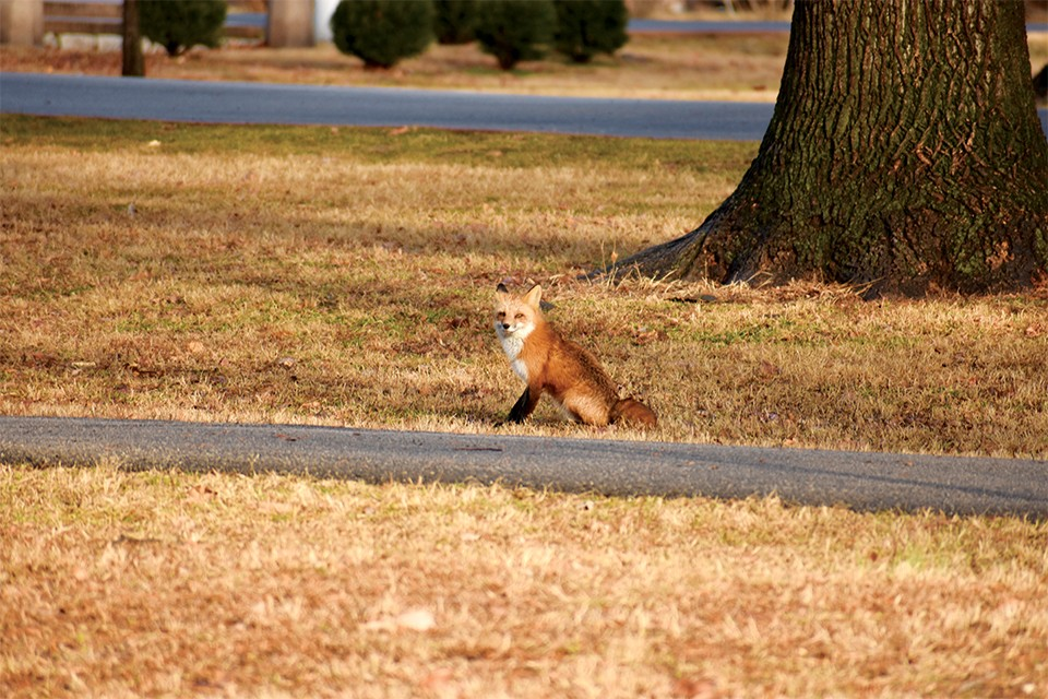 This Tower Grove Park fox is among the wildlife you might find in the city. - DOYLE MURPHY
