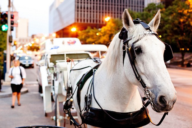 A horse in downtown St. Louis. One company that operates carriages there also has horses in St. Charles. - PHOTO COURTESY OF FLICKR/MITCH BENNETT
