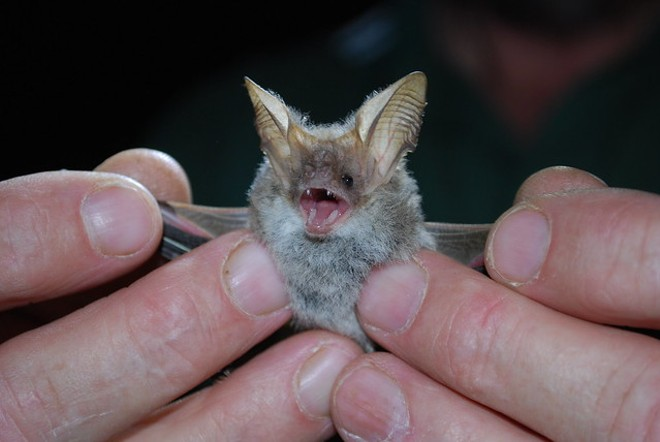 Don't do this with a bat. - CALLIE NICKOLAI / FLICKR