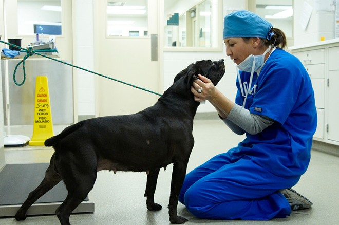Fay prepares for a spay surgery at the Humane Society of Missouri. - MIKE BIZELLI