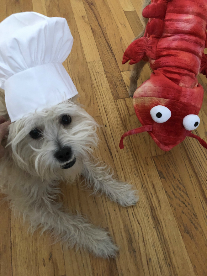 Maple, Jessica Hentoff's dog, wears a chef's hat and poses with a shrimp for a stir-fry shrimp recipe. - CIRCUS HARMONY