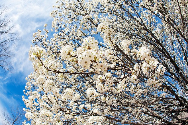 A flowering and reeking Bradford pear tree. - FLICKR/GEORGE THOMAS