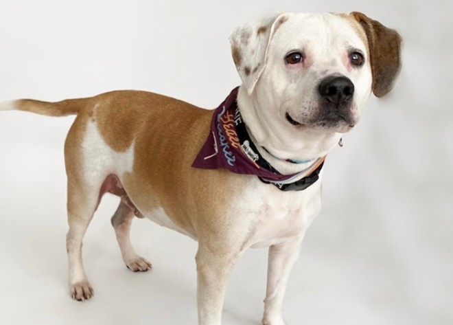 Copper, one of the adoptable dogs at the APA of Missouri, will be getting some new friends at the adoption center. - COURTESY APA OF MISSOURI