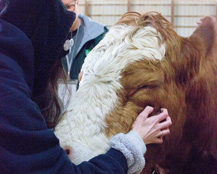 The cows were initially terrified of humans. Two years after their rescue, they readily accept scratches from visitors. - DANNY WICENTOWSKI