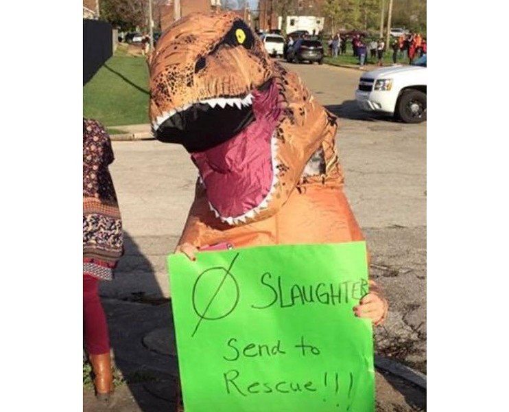 Kelly Manno traveled to the scene, put on an inflatable T-Rex costume and held a sign rooting for the cows' survival. - COURTESY OF KELLY MANNO