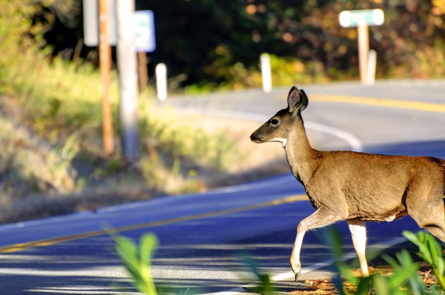 Missouri drivers expected to kill more deer than ever this year. - SHUTTERSTOCK/JAMESCHEN