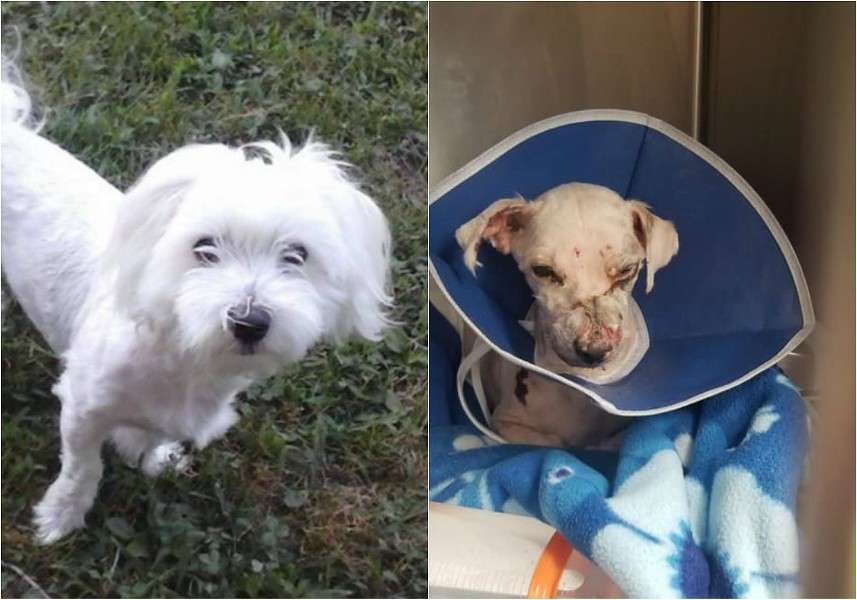 Charlie, before and after he endured chemical burns last week. - MADISON POLICE DEPARTEMNT