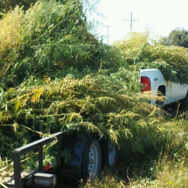 The Facebook posts showed pictures of plants piled high. - IMAGE VIA JASPER POLICE DEPARTMENT FACEBOOK PAGE