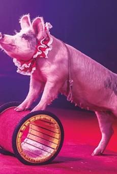 Performing piggy.