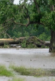 Destroyed champion tree at Columbia Bottom.