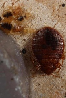 An adult bedbug with several nymphs hiding under a recliner.