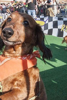 The weiner dogs race Sunday after the Beggin' Strips Pet Parade through Soulard.