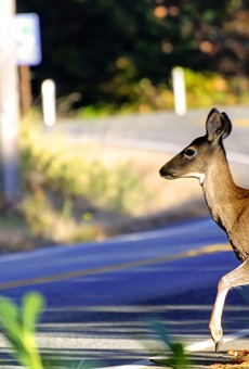 Missouri drivers expected to kill more deer than ever this year.