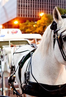 A horse in downtown St. Louis. One company that operates carriages there also has horses in St. Charles.