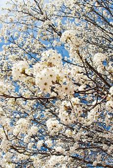 A flowering and reeking Bradford pear tree.