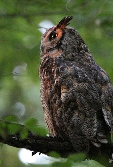 Charles, a Great Horned Owl, hangs out in Forest Park.