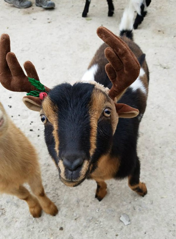 Behold, Ferdinand the goat in his holiday's best. - PHOTO COURTESY OF SAINT LOUIS ZOO.