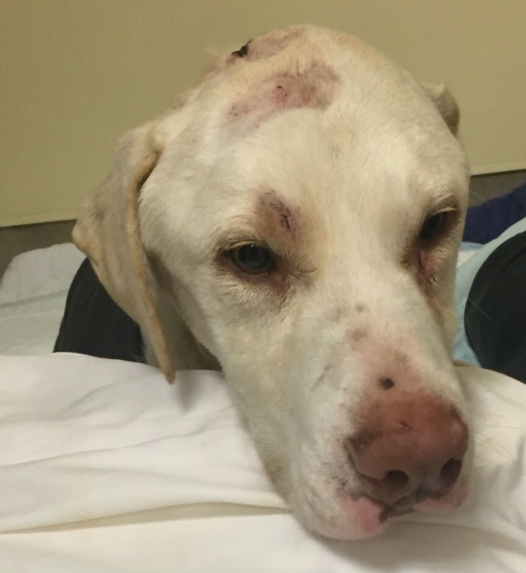 Shot and Struck with a Hammer, Dog Fights Back as Advocates Push for
