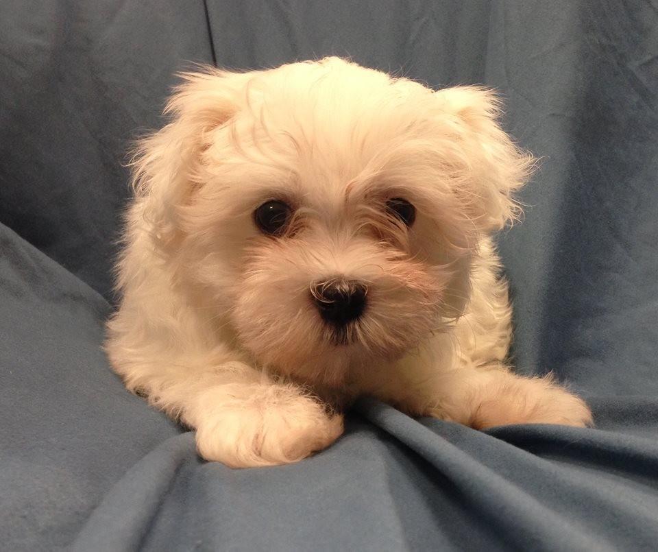 Stolen Maltese Puppies