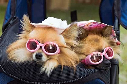 dog_picture_photo_pomeranians_sunglasseswillienelson.jpg