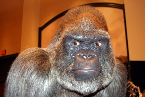 A silverback Gorilla comes in at eye-level. View more photos here.