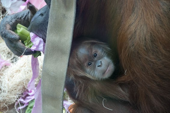 Baby Ginger pokes her face out as her mother Merah snacks at the Saint Louis Zoo. - ALL PHOTOS BY MICAH USHER