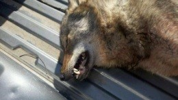 This was shot in Missouri on Tuesday. Is it a wolf? - MISSOURI DEPARTMENT OF CONSERVATION