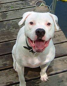 A standard American bulldog - IMAGE VIA