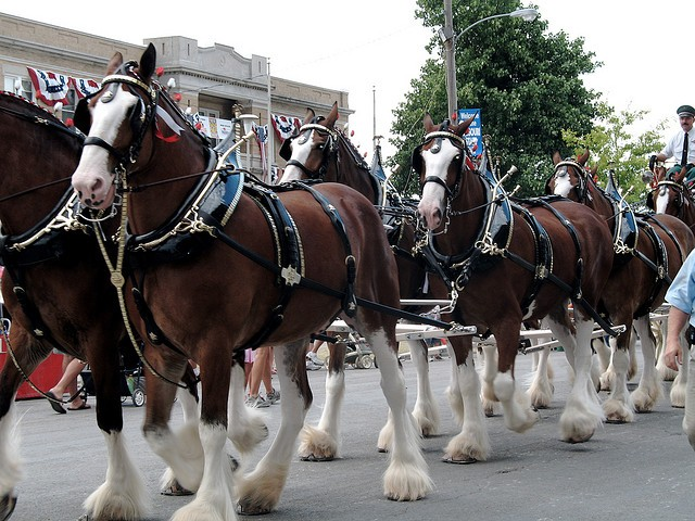 The Clydesdales are always a fan favorite at the home opener. - TRINITY ON FLICKR