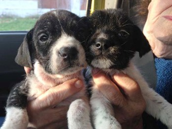Morgan and Stanley, two black-and-white puppies with severe skin conditions, rescued this weekend by Stray Rescue. - PHOTOS COURTESY OF STRAY RESCUE